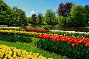 Hollanda laleleri